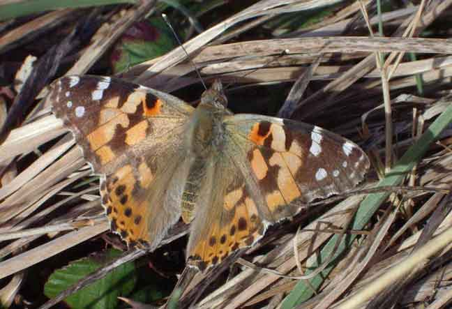 Painted Lady Butterfly in the long grass and straw near the copse