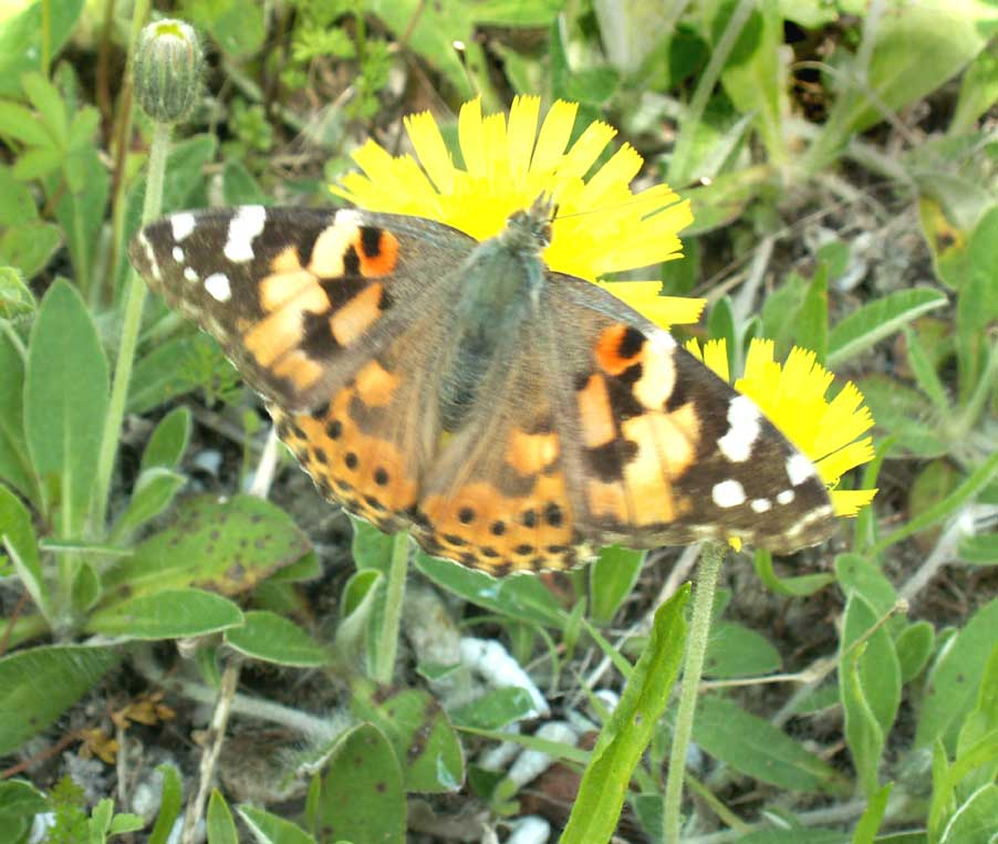 Painted Lady on Mouse-eared Hawkweed