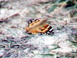 A poor photograph of a Painted Lady Butterfly by Andy Horton (originally misidentified as a Tortoiseshell)