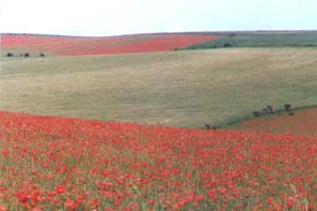 Poppies on the Downs (Photograph by Andy Horton)