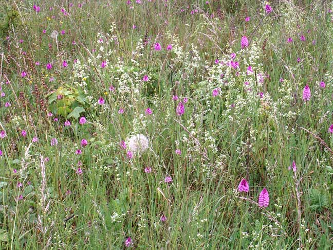 Pyramidal Orchids amongst the long grasses +