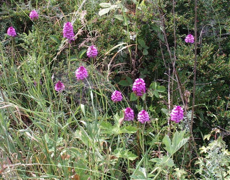 Pyramidal Orchids on the Slonk Hill Cutting (26 June 2005)
