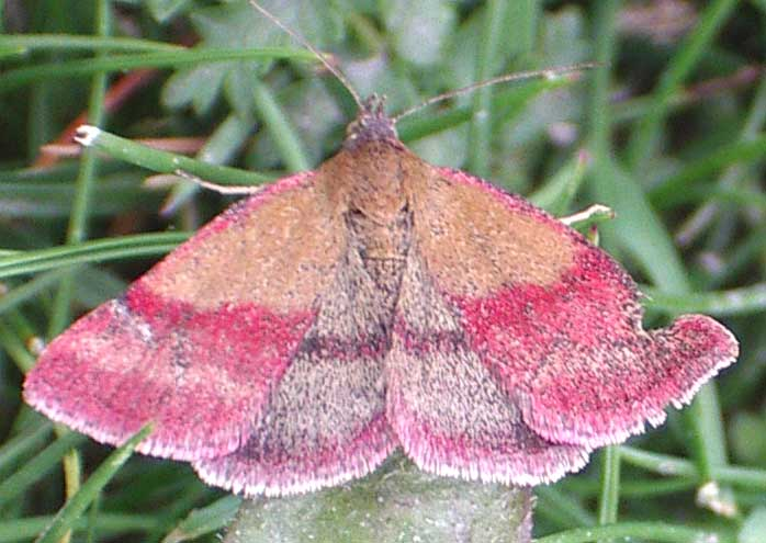 Small Purple-barred Moth, Phytometra viridaria