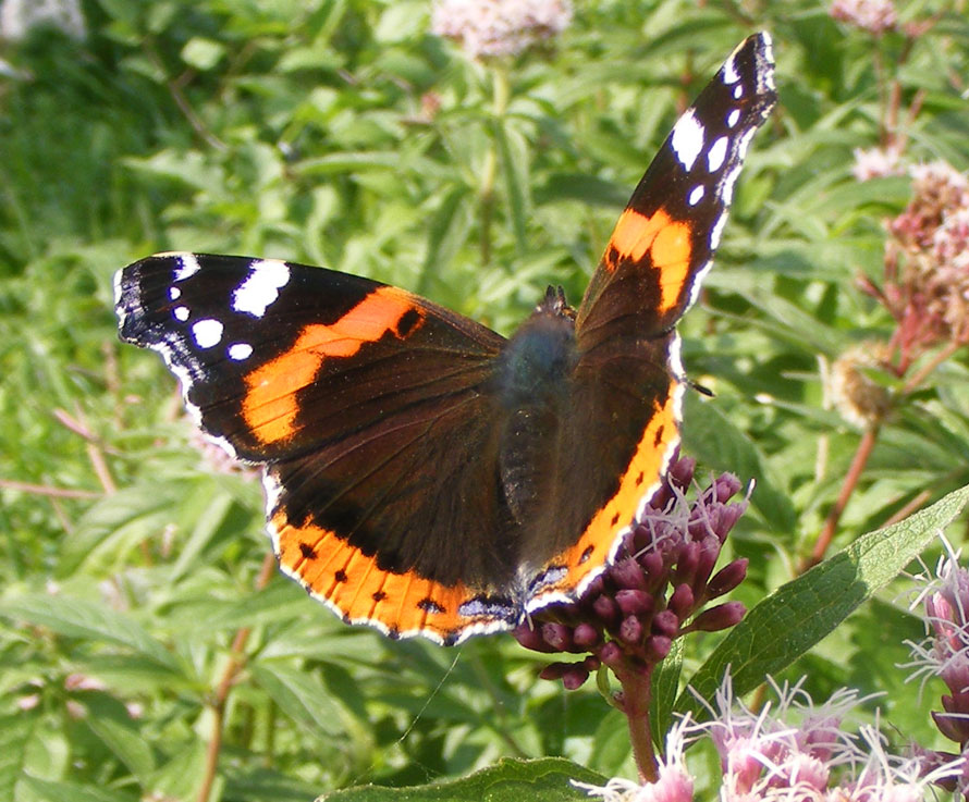 Red Admiral on the Hemp Agrimony at Cissbury