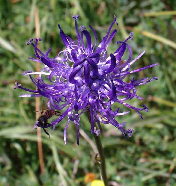 Round-headed Rampion, with insect