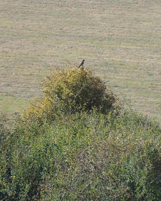 The bird of prey is just a speck on the Hawthorn (Photograph by Andy Horton)