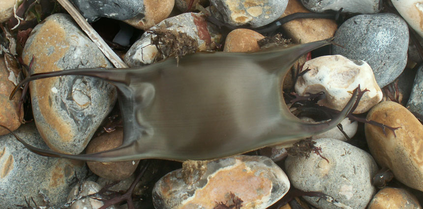 Eggcase of the Undulate Ray