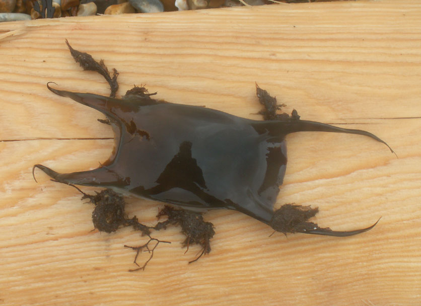 Egg case of the Undulate Ray