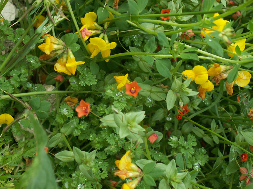 Bird's Eye Trefoil & Scarlet Pimpernel