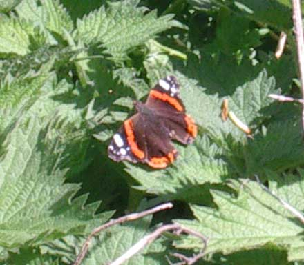 Red Admiral on Nettles (in late April)