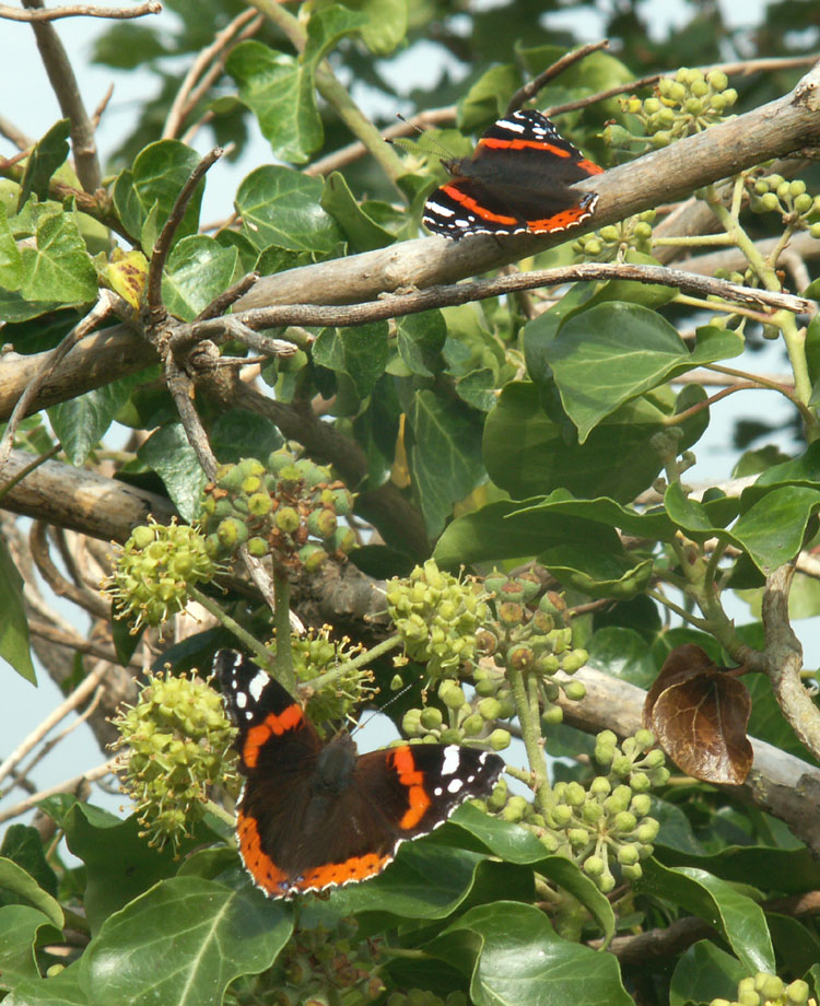 Red Admirals on Ivy on the Pixie Path