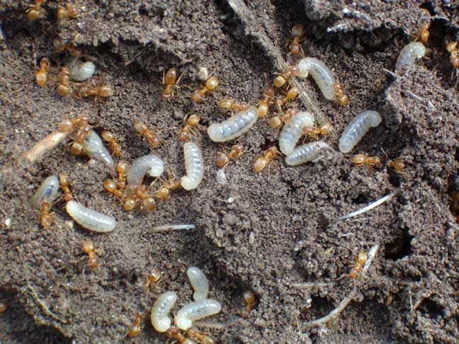 Red Ants with grubs