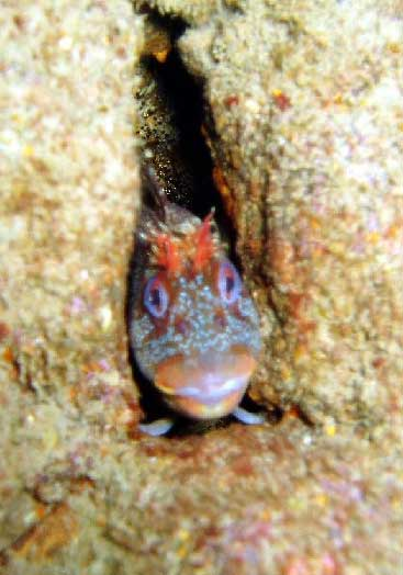 Red Blenny (Probable), Parablennius ruber. (Photograph by Roy Bridgewater)