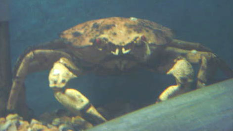 Red Crab (Photograph by Alan Jackson)
