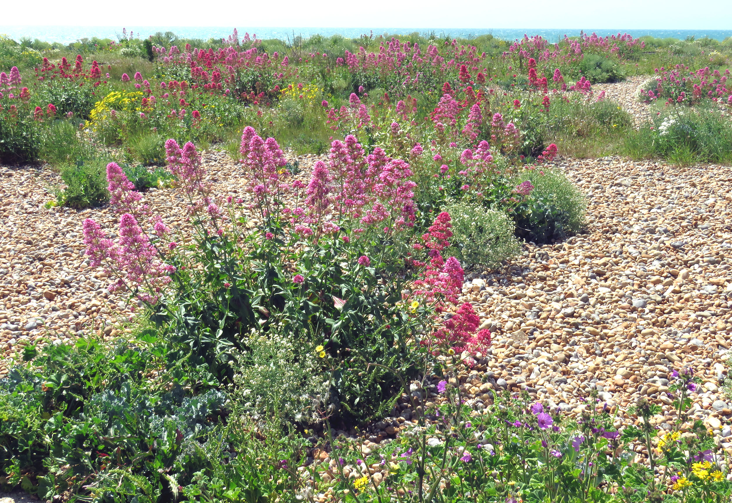 Red Valerian on Shoreham Beach (east)