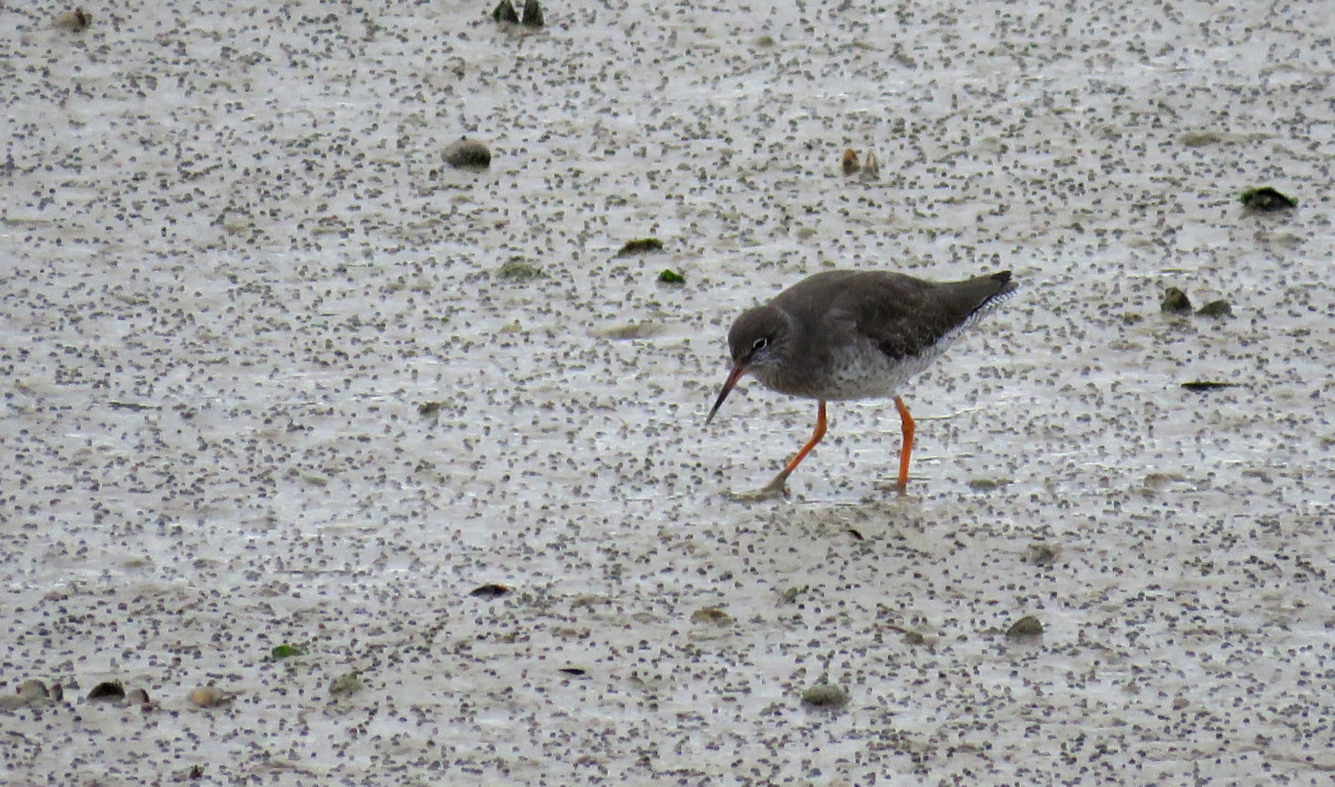 Redshank on the mud of the Flood Arches