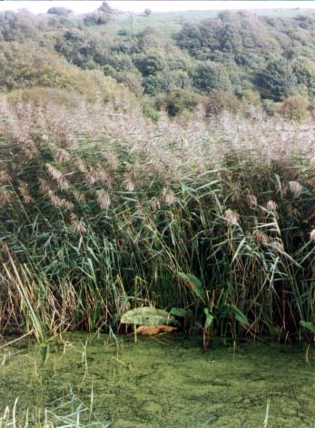 Stream near the Waterworks with extensive reedbeds (Photograph by Andy Horton)