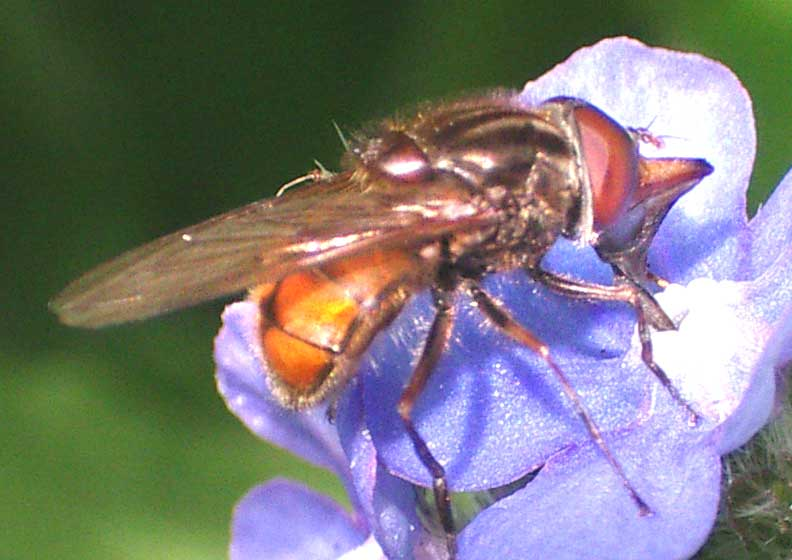 This fly is on a Green Alkanet flower