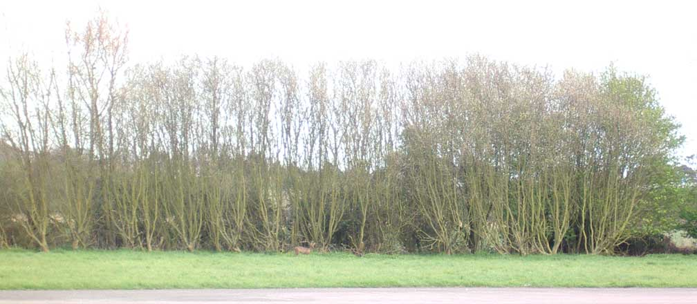 Can you spot the Roe Deer ?