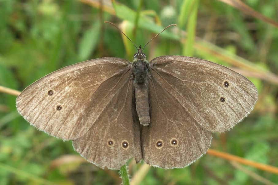 Ringlet Butterfly (taken with the new Minolta Dimage Z5 camera)