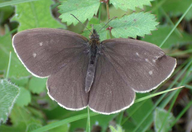 Ringlet Butterfly (Photograph by Andy Horton)