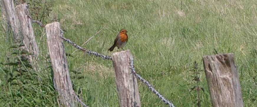 Robin on the footpath from the Waterworks Road to Mill Hill