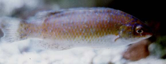 Wrasse found in British seas Rockcook