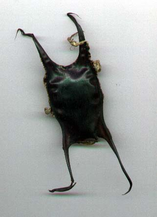 Raja undulata egg case (by Andy Horton)