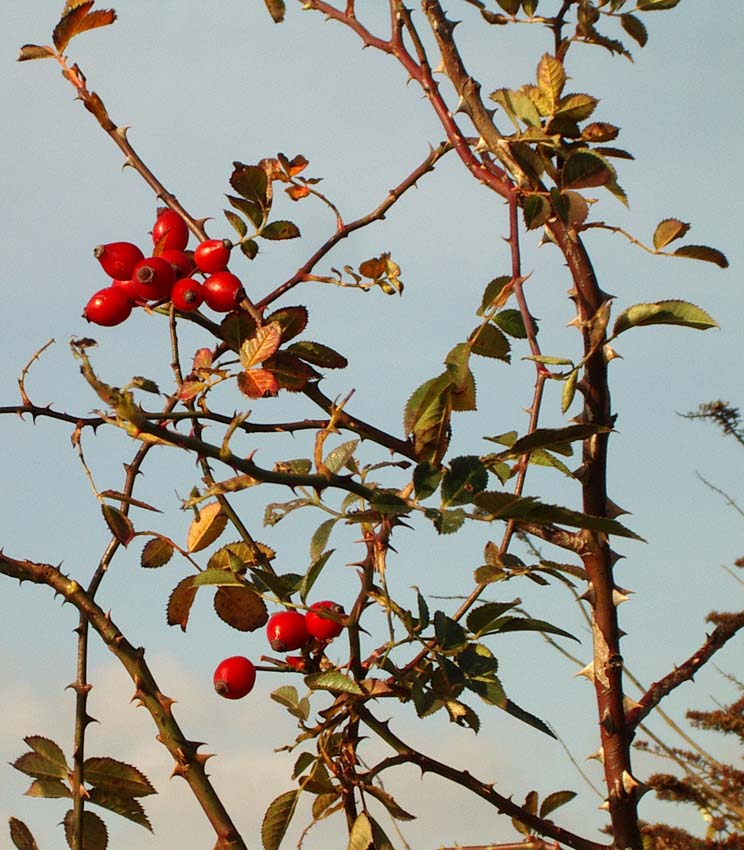 Rosehips on the path SE of the Toll Bridge (Photograph by Andy Horton)