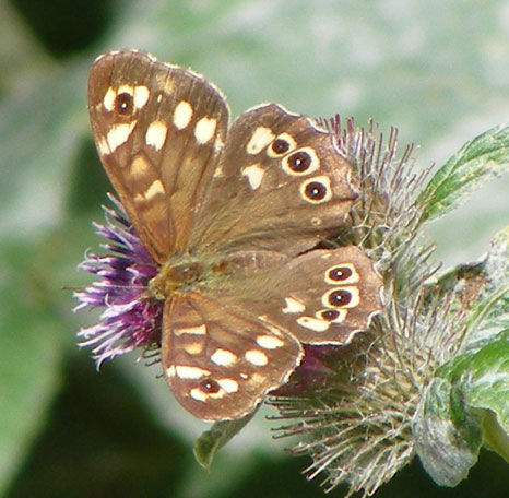Speckled Wood on Lesser Burdock in Buckingham Park