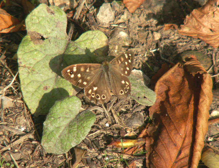Speckled Wood in Autumn