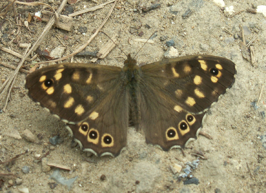 A good condition dark Speckled Wood Butterfly near the Cement Works