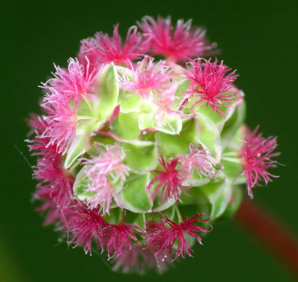 Salad Burnet @ Buckingham Cutting (S)