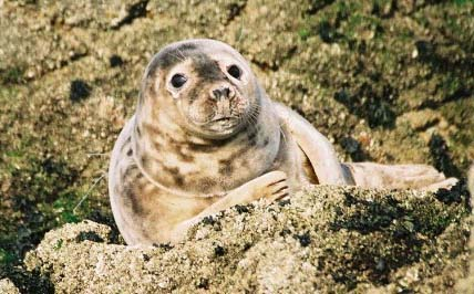 Seal  (Photograph by Nicolas Jouault, Jersey)