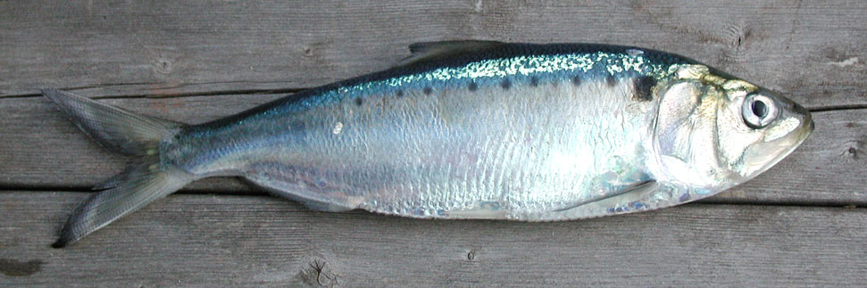 Shad (Photograph  by Charles Fleming)