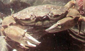 Crabs prior to mating. The female crab is underneath.