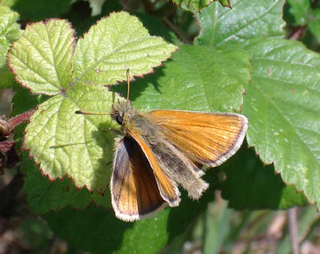 Small Skipper from the Slonk Hill bank