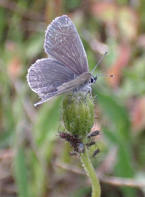 Small Blue (worn)