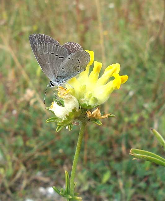 Small Blue on Kidney Vetch (August 2004)