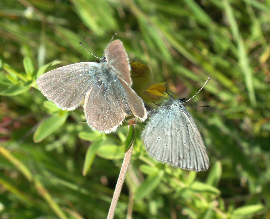 Small Blue Butterflies
