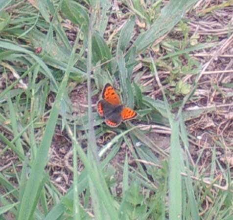 Small Copper: the butterfly flew off before I could close in on it