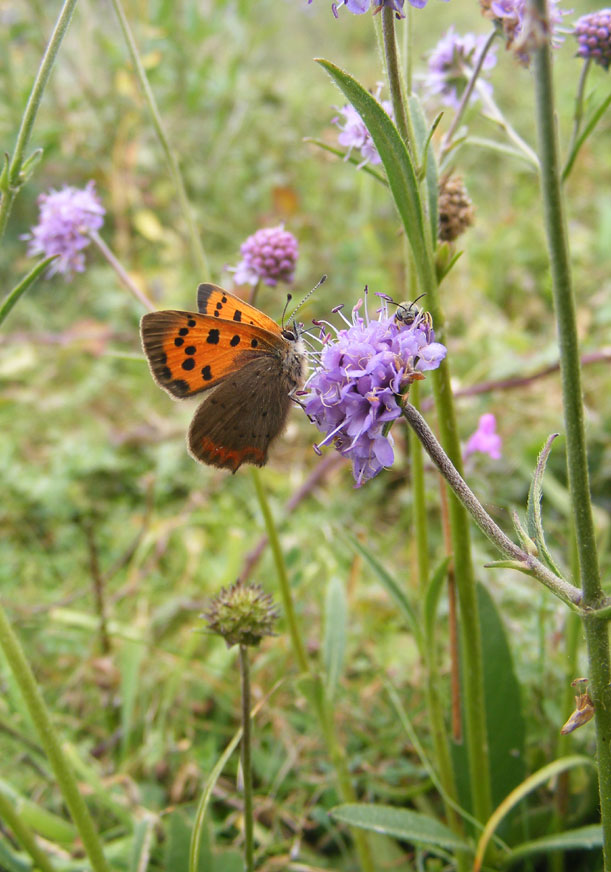 Small Copper on Mill Hill