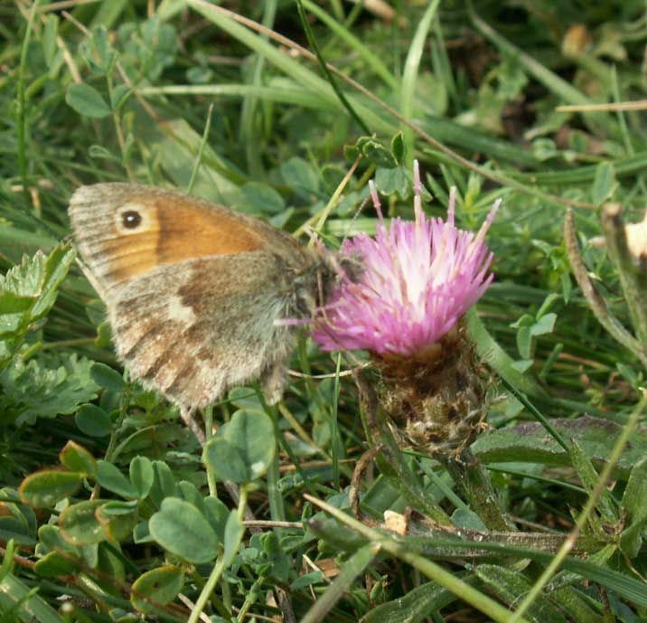 Small Heath on Stemless Thistle