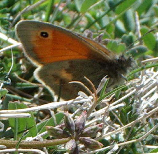 Small Heath (Photograph by Andy Horton)