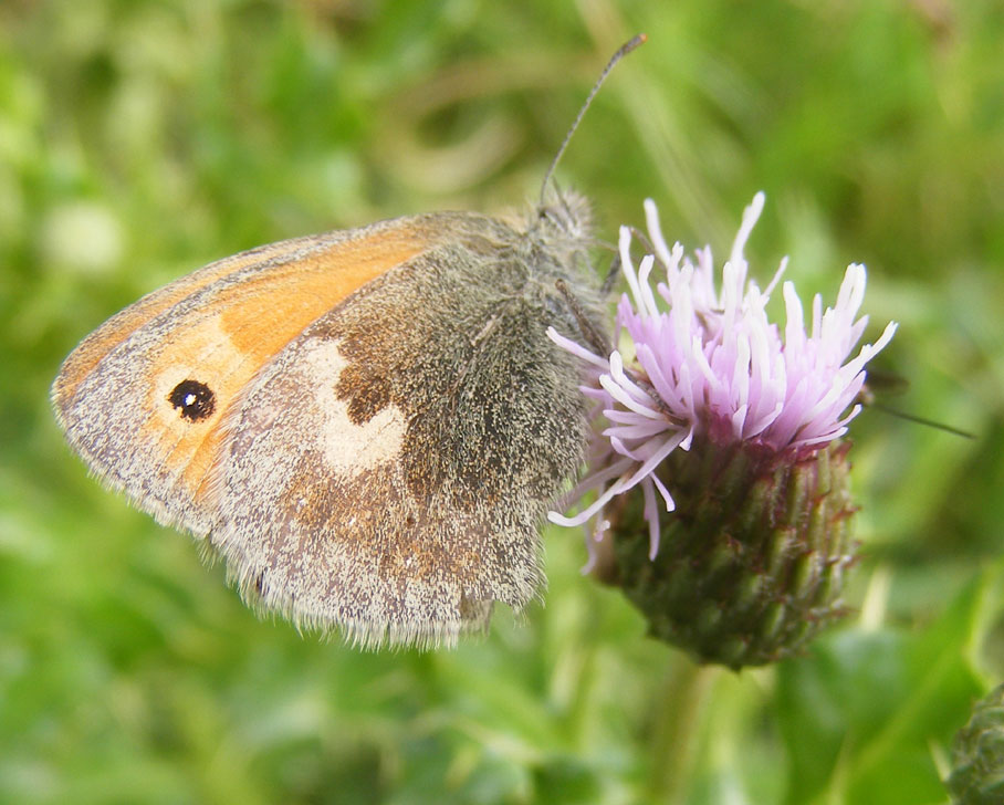Small Heath Butterfly on Hardhead