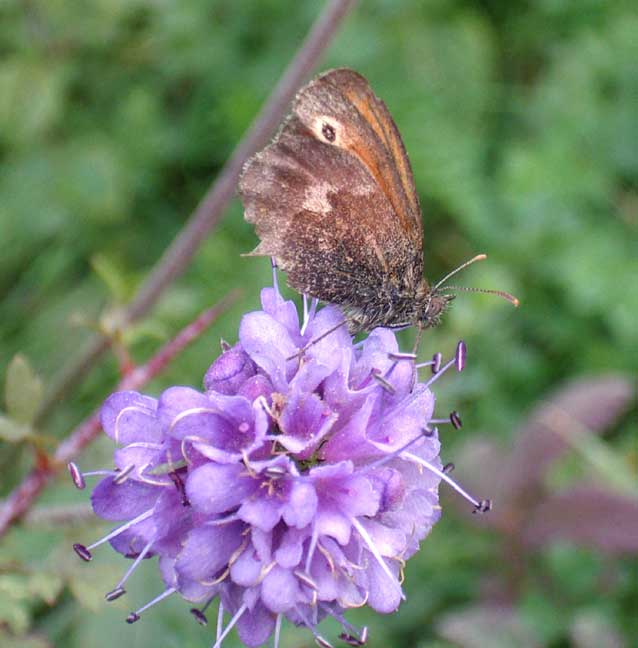 Small Heath on Devil's Bit Scabious