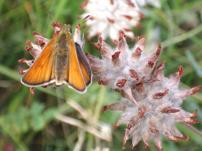 Small or Essex Skipper (Photograph by Andy Horton)