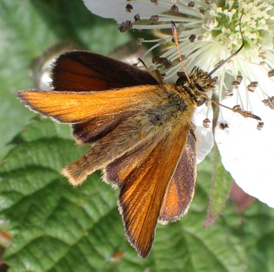Small Skipper (slightly smaller than the Large Skipper)