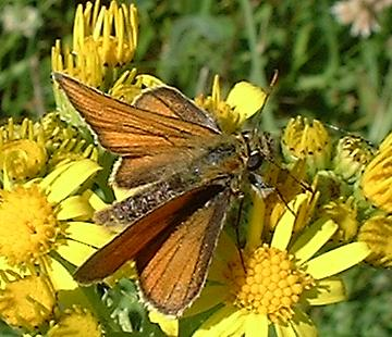 Small Skipper from Malthouse Meadow (Photograph by Ray Hamblett)