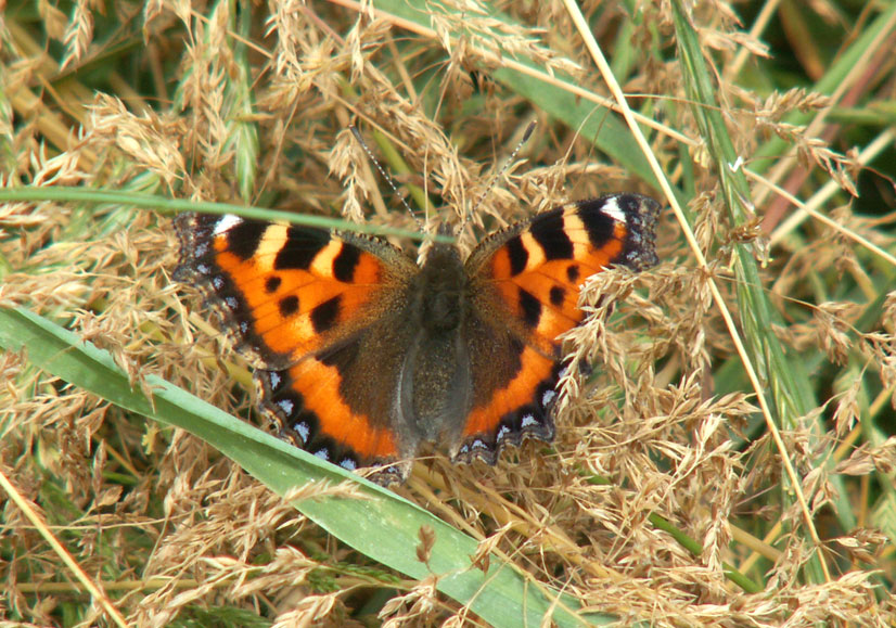 Small Tortoiseshell on Anchor Bottom